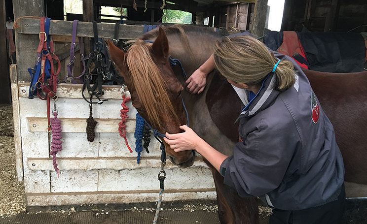 Equine Chiropractic treatment Devon